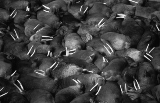 10. Walrus Contact Species